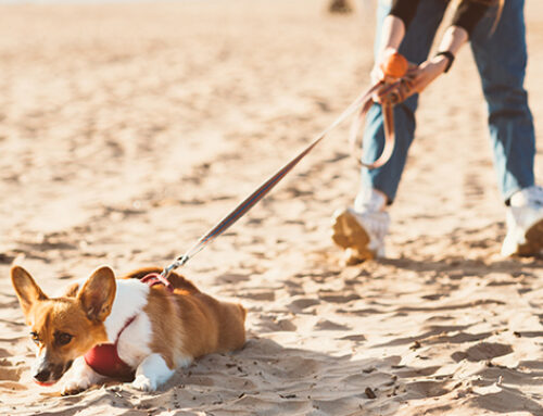 Is Your Dog A Strong Puller? Try This