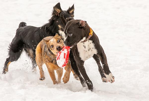 Dog Park Etiquette: Are We Having Fun Yet? Understanding Body Language in Play